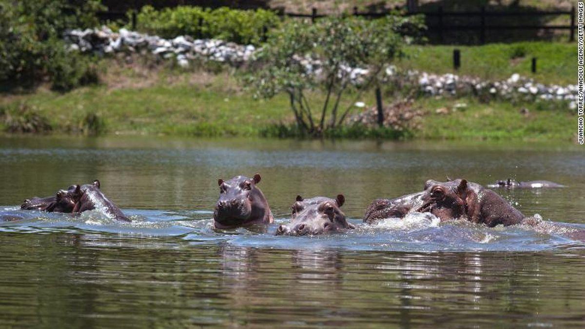 ¿Qué pasa con los hipopótamos de Pablo Escobar?