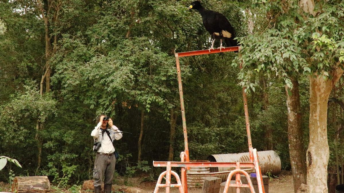 En el Complejo Ecológico Sáenz Peña, el lugar de donde llegar las aves hasta el Parque Nacional, las entrenaron para defenderse de los predadores y alimentarse de frutos del bosque para luego reintroducirlas.