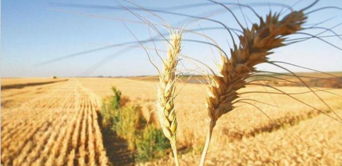 Buenas noticias para el trigo: asoman nuevas lluvias que beneficiarían la siembra