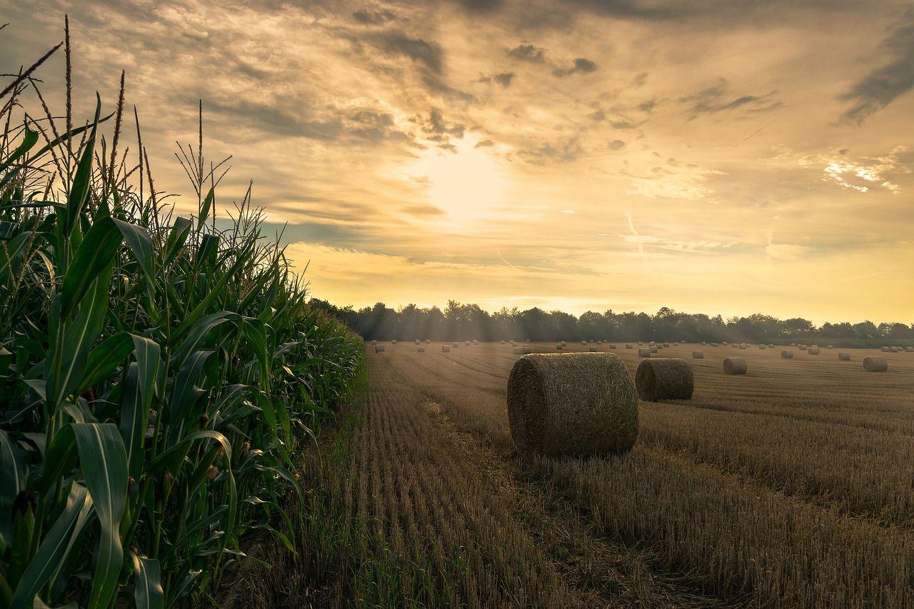 Below explicó los puntos fundamentales para la sanidad en maíz; se viene la campaña.