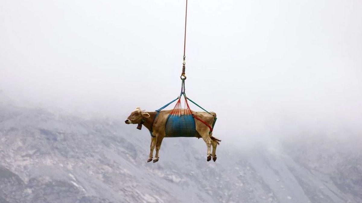 Trasladaron vacas lesionadas en helicóptero y las imágenes se viralizaron