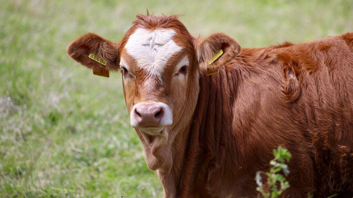 Vacas Locas en Brasil.