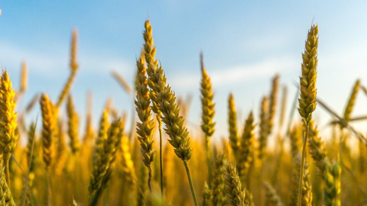 Los embarques de trigo son los más bajos de los últimos cinco años.