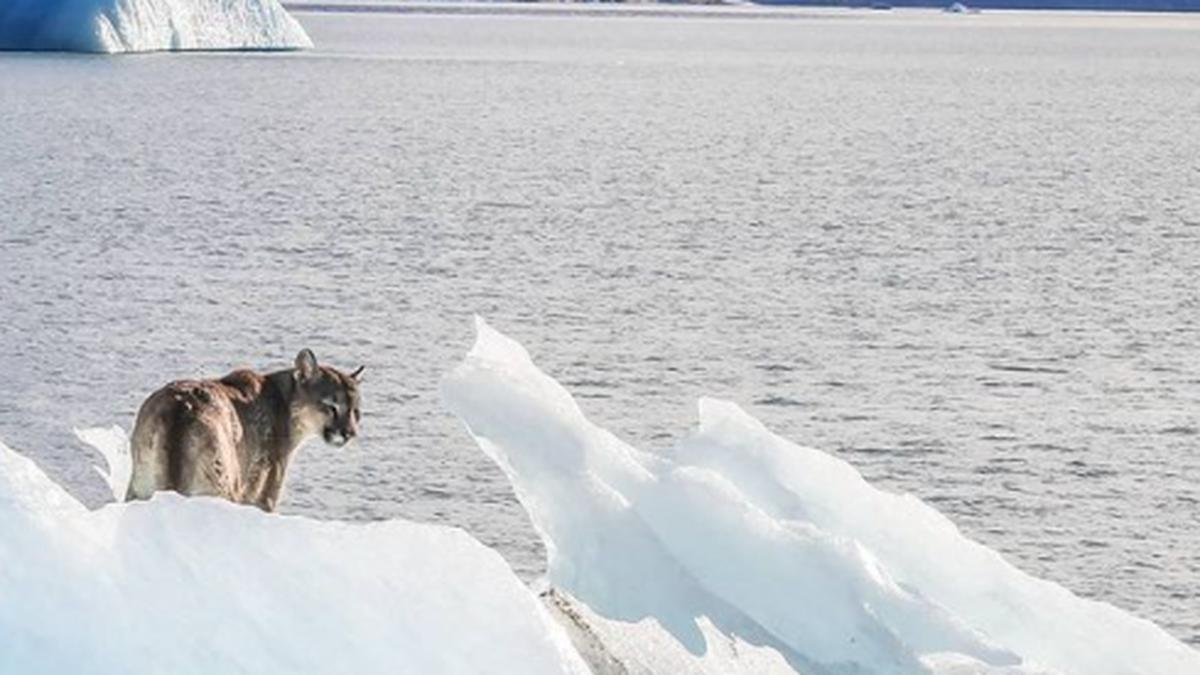 Un puma sobre un iceberg en Calafate. Foto de Luis Alejandro Acharez