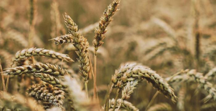 Preocupante: seis de cada 10 hectáreas de trigo registran condiciones de sequía